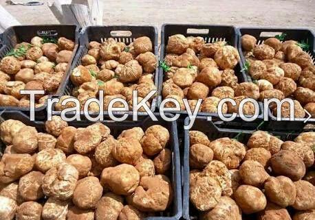 White Truffles Algeria Desert