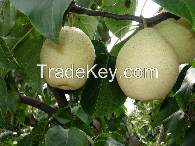fresh fruit/Ya pear