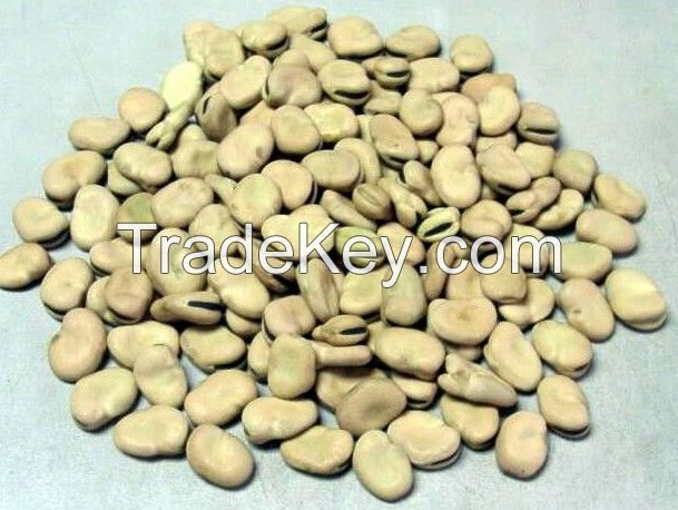 Broad beans with good quality best price