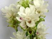 Curcuma Alismatifolia Siam Tulips