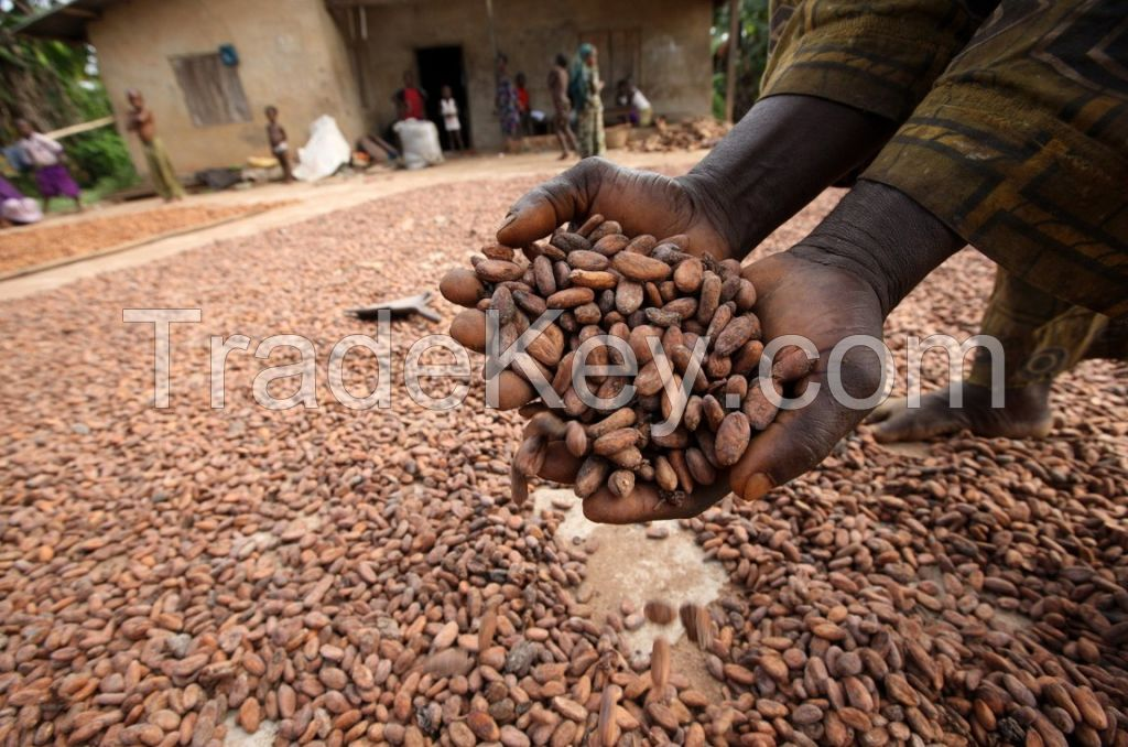 High quality Cocoa Beans