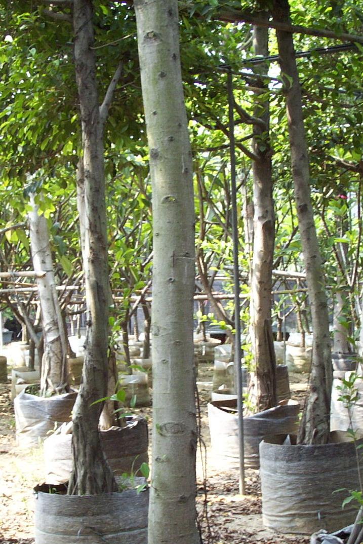 Tree seedings  ficus