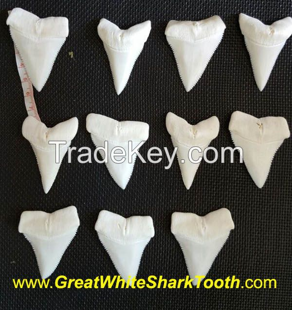 Full Great White Shark Tooth From Same Jaw