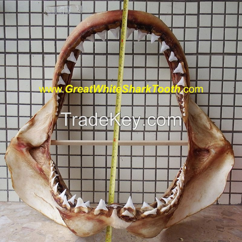 Real Great White Shark Jaw