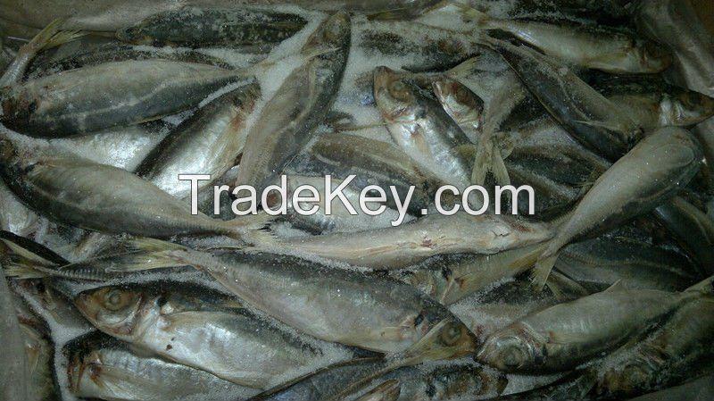 Atlantic Horse Mackerel Fish ,North Sea Herring Fish ,Silversmelt Fish