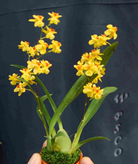 Onc. 'Happy Orchid-Golden hope'
