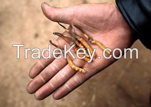 Wild Cordyceps