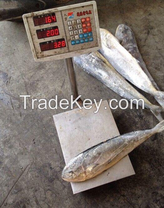 Sea Frozen Mahi Mahi Whole Round | Whole Round IQF Mackerel Fish