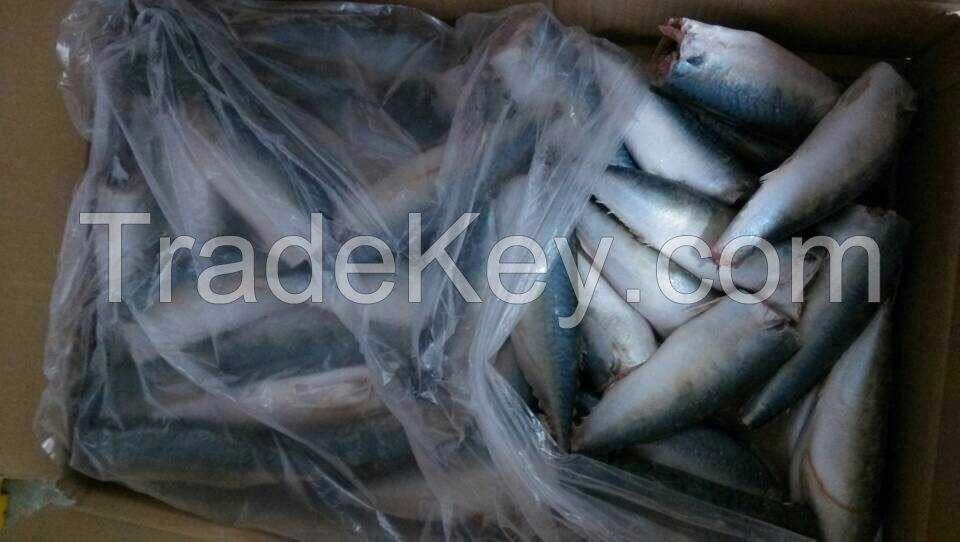 Sea Frozen Pacific Mackerel HGT | HGT Mackerel | HGT Fishes