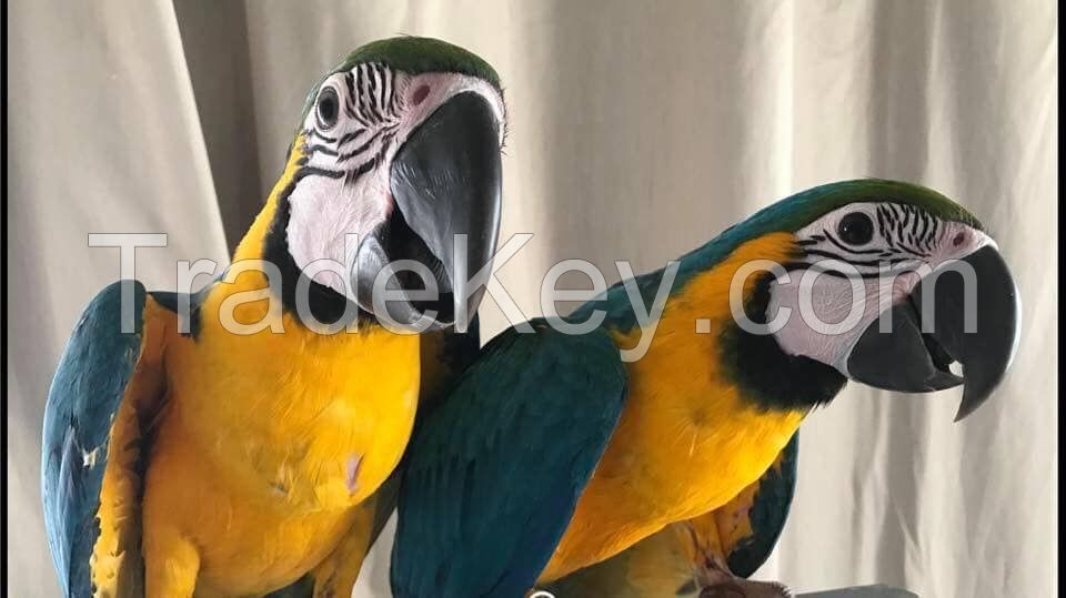 Ara ararauna Blue and Gold Macaws Parrots
