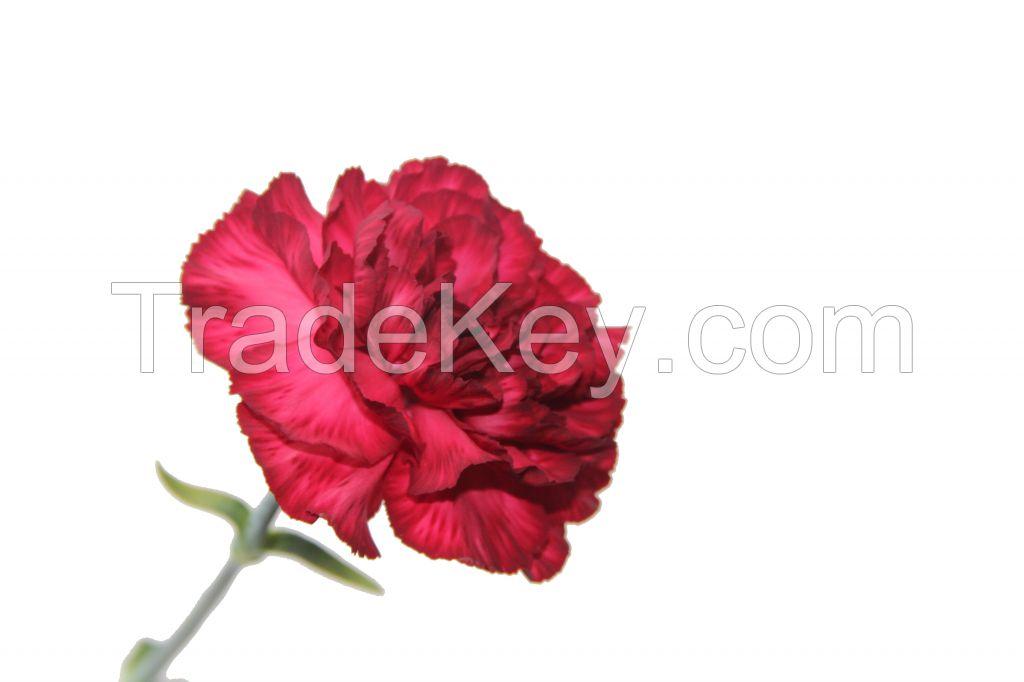 Select Carnation