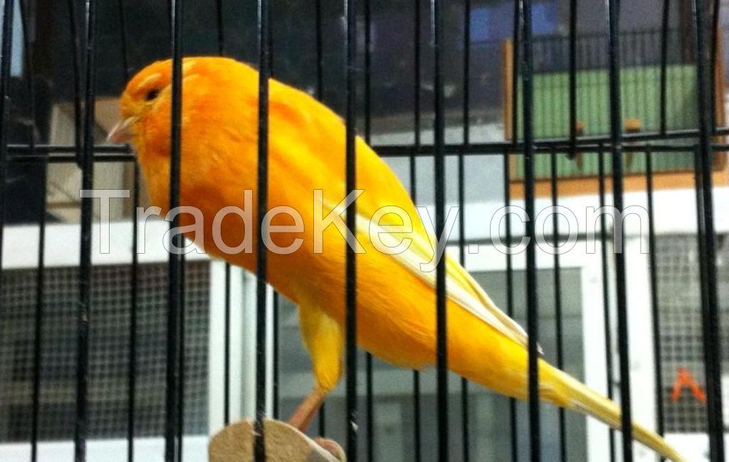 Lancashire Canary,Gloster Canary,Spanish Timbrado,Fife Canary birds,Yorkshire canary