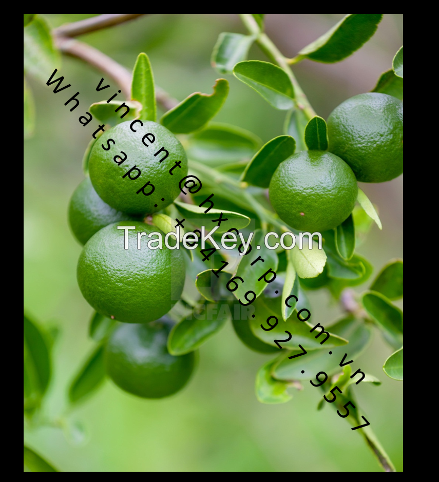 Fresh Seedless limes high Vitamin C from Vietnam (whats app:+84169 927 9557)