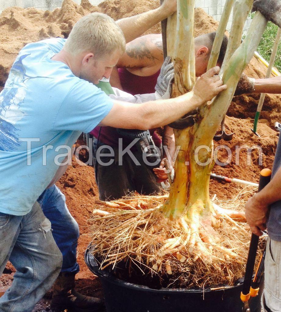 Palms, trees, crepe myrtles