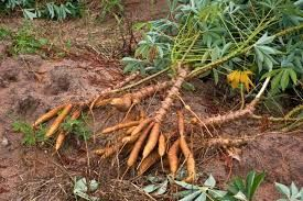 Fresh Manihot esculenta