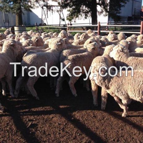 Boer Goat, Kalahari Red, merino Sheep, Doper Sheep, Bull