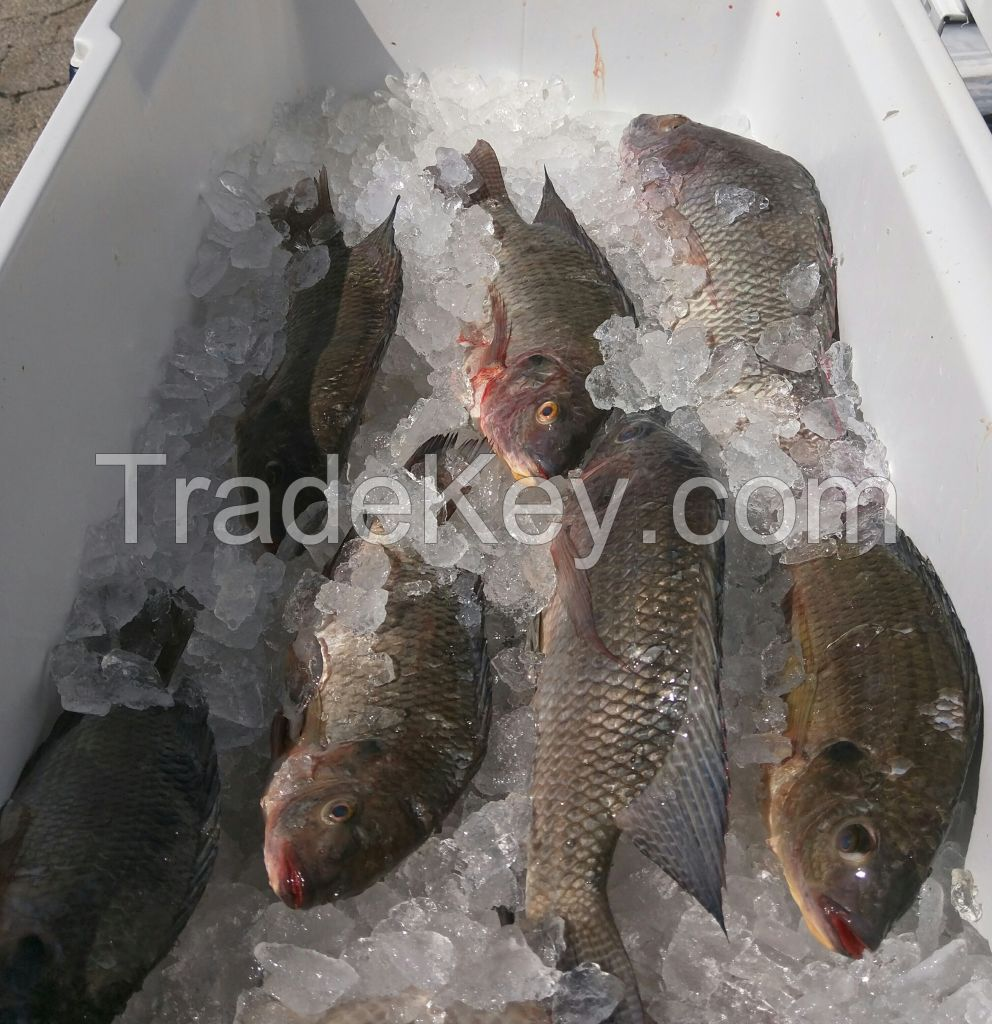 Fresh, Caught in the Wild Blue Tilapia