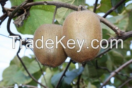 Best price and best kiwis in Cental America