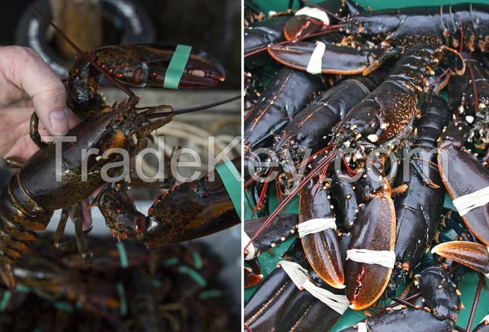 Giant Boston Lobsters