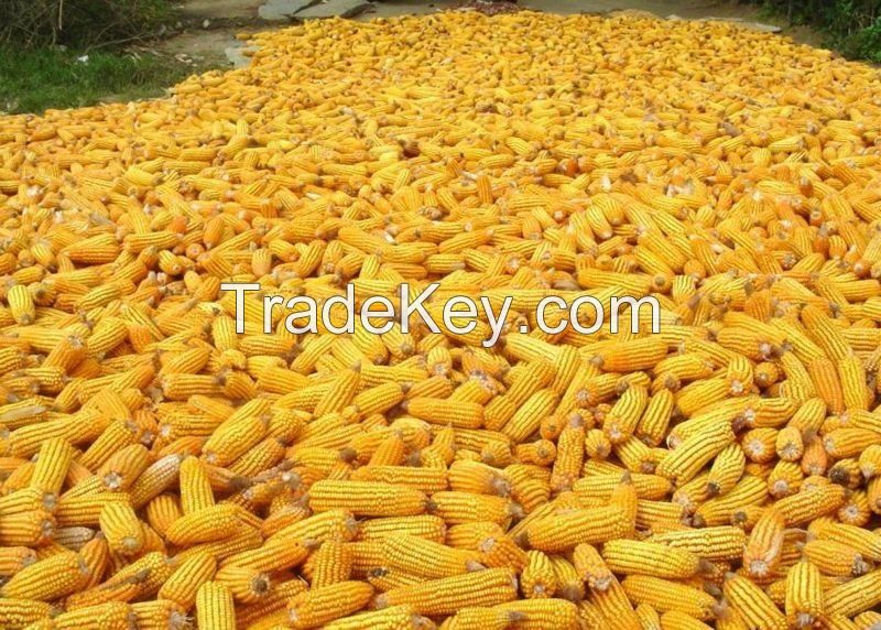 Premium Quality Grade 1 Garins For Sale Yellow Corn/Maize, Wheat, Rice, Barley, Quinoa