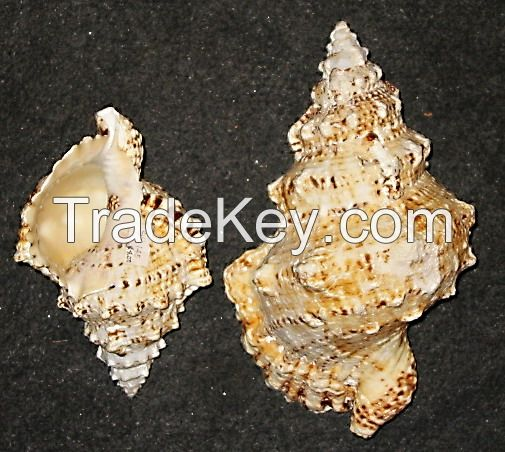 Collector's Item Seashells and Specimens