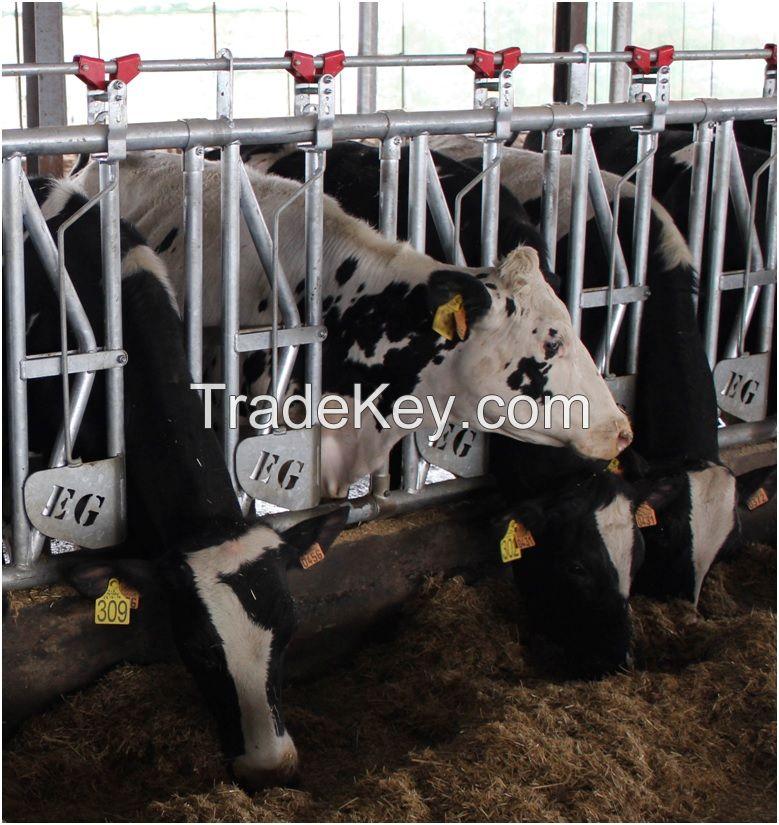 Cattle headlock