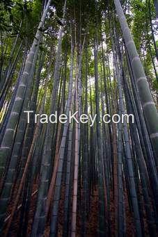 bamboo plant