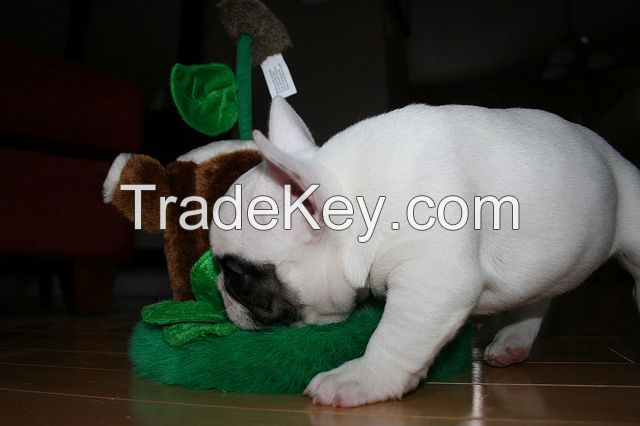 French bull puppies for sale