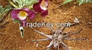 Harpagophytum procumbens - Devil's claw