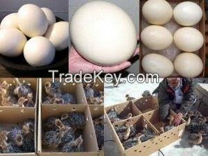 Fertile Ostrich eggs/Ostrich Chicks/Table Eggs