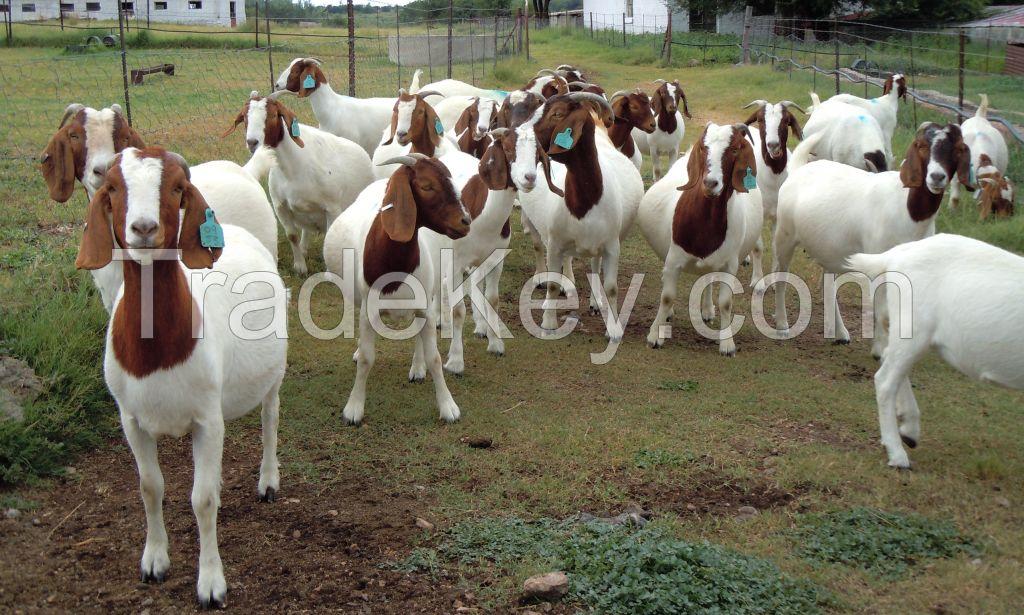 100% High Quality Livestock Full Blood Boer Goats for sale 2018