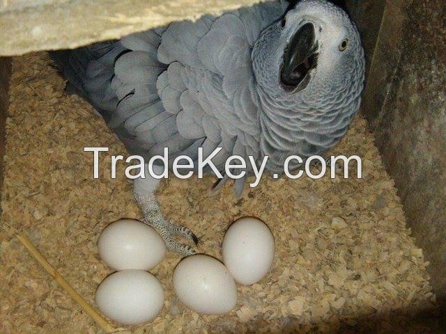 Grey Parrot available