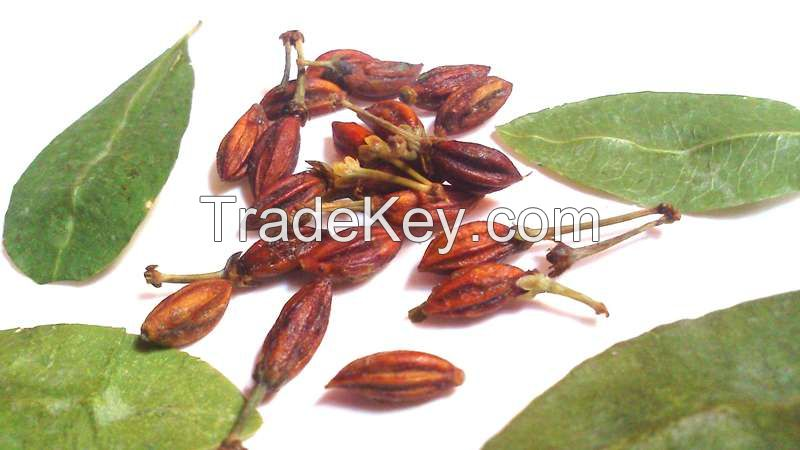 Erythroxylum coca seed