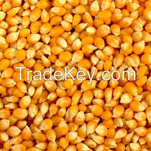 cheap Yellow Corn, White Corn Maize Feed