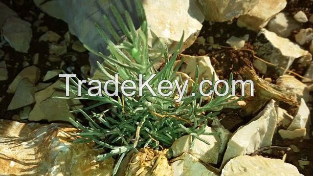 Immortelle(Helichrysum Italicum) Essential Oil