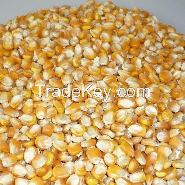 Yellow Maize, Dried Yellow Corn, Popcorn, White Corn Maize