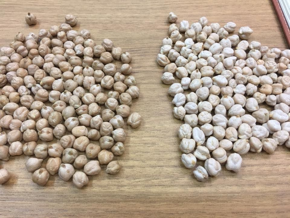 Chickpeas (8 mm above)