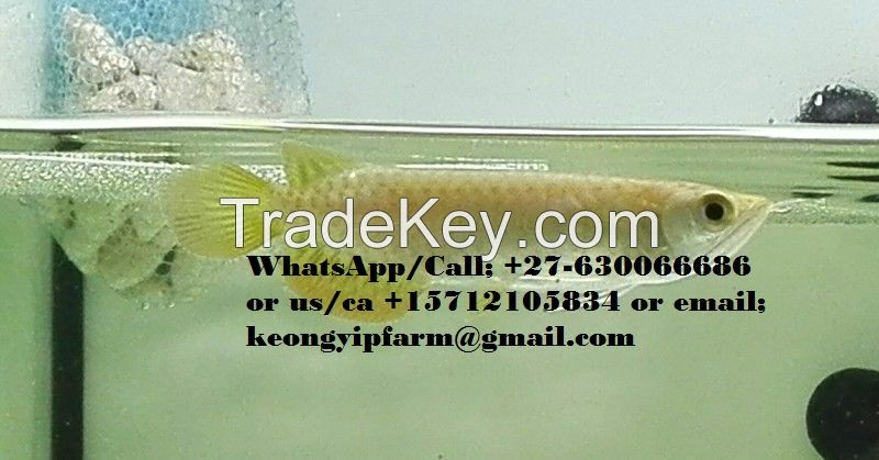 Premium live Arowana fishes, Flowerhorns, Koi, cichilids, Discuss, and other fishes on Wholesale