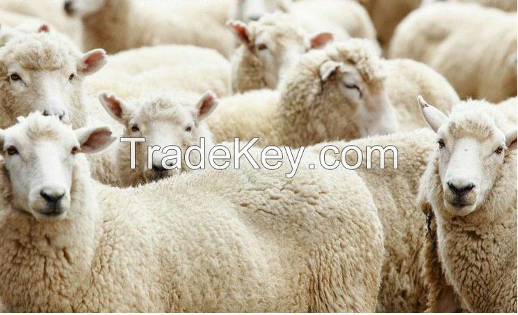 100% greasy Russian sheep wool, 28-38mic, 80-95mm, natural white color