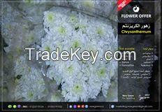 fresh cut chrysanthemums