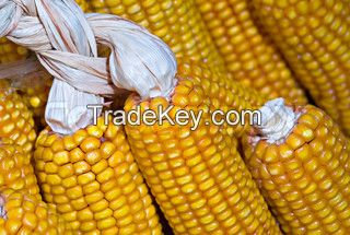 Yellow Maize And White Maize Corn Exporters, Yellow corn Exporters In Thailand