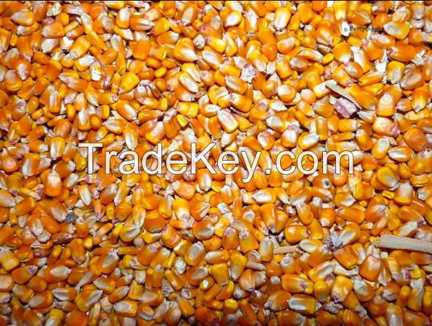 High quality Maize Dried Corn