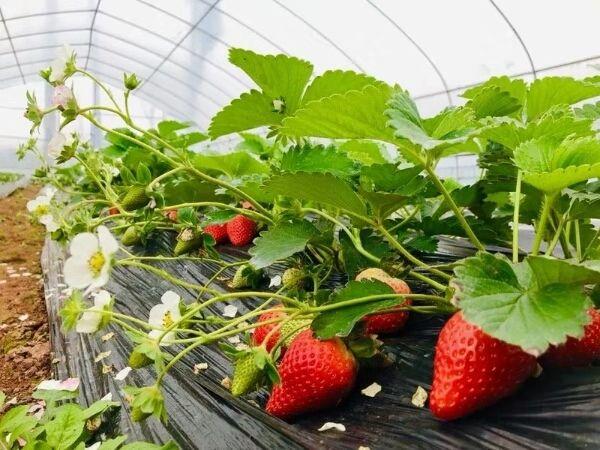 QHXN IQF Whole Strawberry- Frozen Strawberry-Grade A1