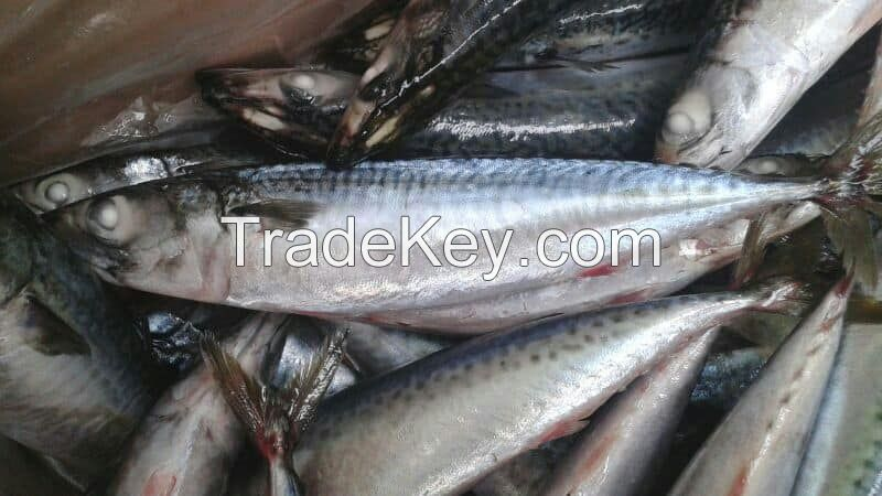 Frozen Atlantic mackerel(Scomber Scombrus)