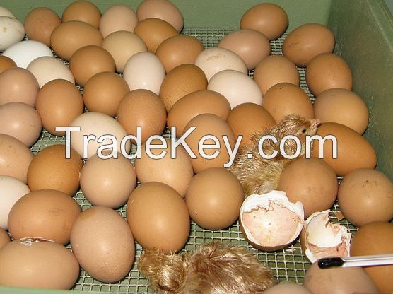 broiler hatching eggs Cobb 500 and Cobb 700 and Ross 308