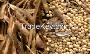 A Grade Sortexed Soybean Seeds