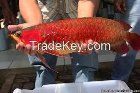 Super Cute Blood Red Arowana Fish On Sale