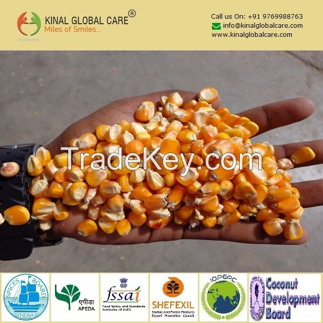 Best Quality Indian Yellow Maize