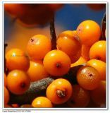 organic sea buckthorn oil