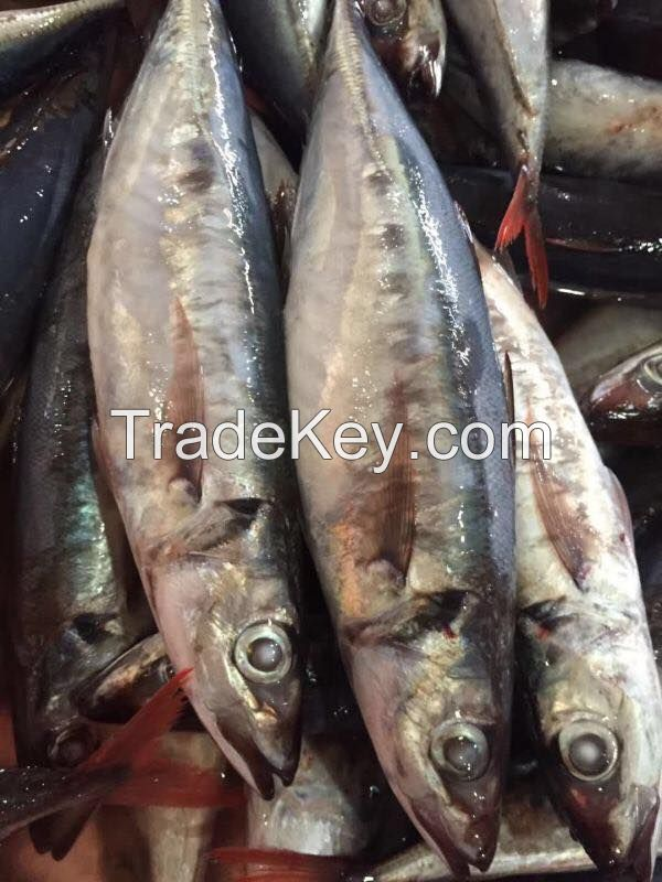 frozen tilapia,Red tail horse mackerel,pacific mackerel, seafood,frozen fish, frozen squid,tuna fish,Indian mackerel,Sea frozen sardine